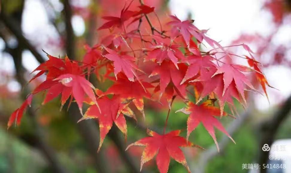 红枫叶又红了,却独我一人欣赏-第1张图片-96试玩网