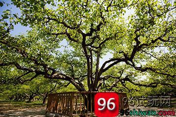 梨树是我挥之不去的童年记忆-第1张图片-96试玩网